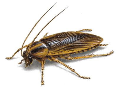 cucaracha-alemana-1