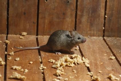 ¿Quieres evitar ratas y ratones?